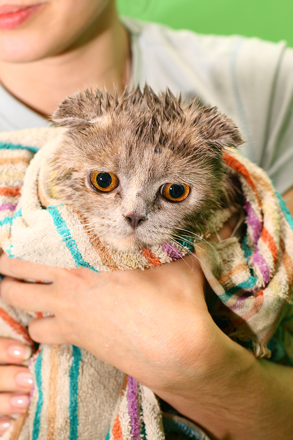 bigstock_wash_cat_12470048